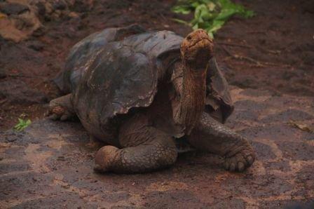 Glapagos_Turtle_-_3__Hani_Itani_.jpg